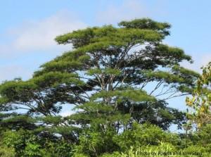 Albizia tree with starr credits