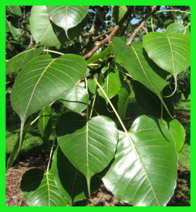 Bo tree leaves